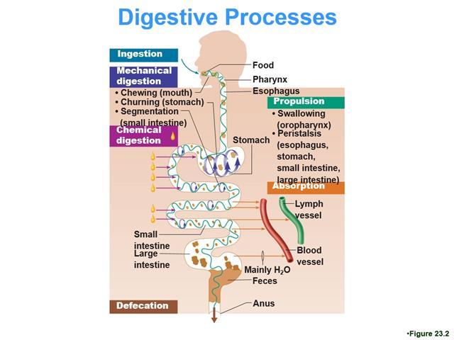 16F 2312 02 Digestive 1 Lecture